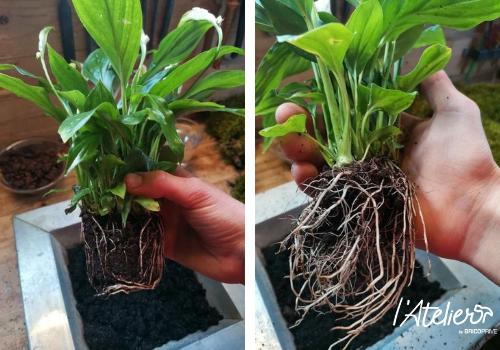 Etape 1 - Fabriquer son kokédama soi-même, explications  - Plante enrobée dans de la mousse qui forme une sphère parfaite