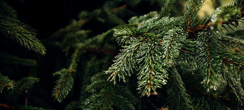 Comment conserver son sapin de Noël plus longtemps ? - Brico Privé